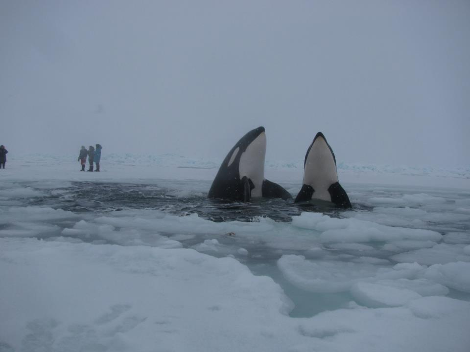 Orcas in Ice